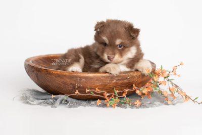 puppy210 week5 BowTiePomsky.com Bowtie Pomsky Puppy For Sale Husky Pomeranian Mini Dog Spokane WA Breeder Blue Eyes Pomskies Celebrity Puppy web1
