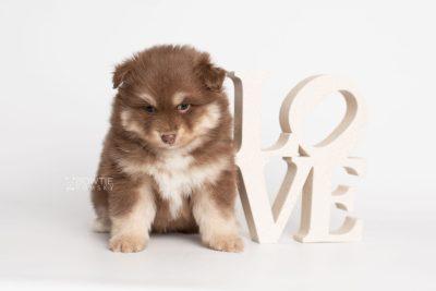 puppy210 week5 BowTiePomsky.com Bowtie Pomsky Puppy For Sale Husky Pomeranian Mini Dog Spokane WA Breeder Blue Eyes Pomskies Celebrity Puppy web3