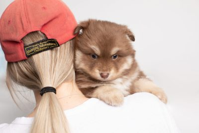 puppy210 week5 BowTiePomsky.com Bowtie Pomsky Puppy For Sale Husky Pomeranian Mini Dog Spokane WA Breeder Blue Eyes Pomskies Celebrity Puppy web7