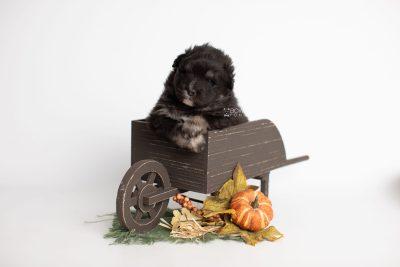 puppy213 week3 BowTiePomsky.com Bowtie Pomsky Puppy For Sale Husky Pomeranian Mini Dog Spokane WA Breeder Blue Eyes Pomskies Celebrity Puppy web1