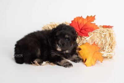 puppy213 week3 BowTiePomsky.com Bowtie Pomsky Puppy For Sale Husky Pomeranian Mini Dog Spokane WA Breeder Blue Eyes Pomskies Celebrity Puppy web5