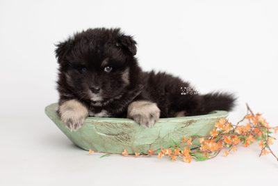 puppy213 week5 BowTiePomsky.com Bowtie Pomsky Puppy For Sale Husky Pomeranian Mini Dog Spokane WA Breeder Blue Eyes Pomskies Celebrity Puppy web4