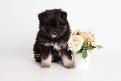 puppy213 week5 BowTiePomsky.com Bowtie Pomsky Puppy For Sale Husky Pomeranian Mini Dog Spokane WA Breeder Blue Eyes Pomskies Celebrity Puppy web7