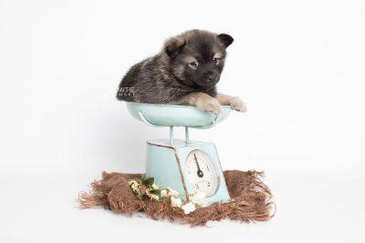 puppy214 week5 BowTiePomsky.com Bowtie Pomsky Puppy For Sale Husky Pomeranian Mini Dog Spokane WA Breeder Blue Eyes Pomskies Celebrity Puppy web2