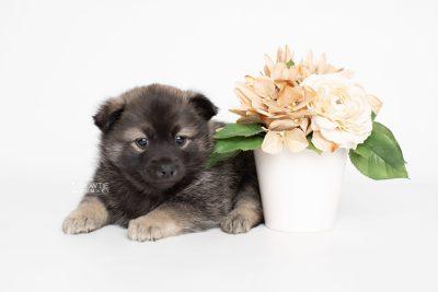 puppy214 week5 BowTiePomsky.com Bowtie Pomsky Puppy For Sale Husky Pomeranian Mini Dog Spokane WA Breeder Blue Eyes Pomskies Celebrity Puppy web5