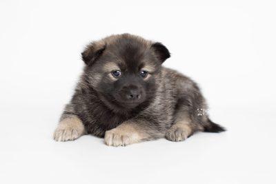 puppy214 week5 BowTiePomsky.com Bowtie Pomsky Puppy For Sale Husky Pomeranian Mini Dog Spokane WA Breeder Blue Eyes Pomskies Celebrity Puppy web6