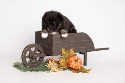 puppy217 week3 BowTiePomsky.com Bowtie Pomsky Puppy For Sale Husky Pomeranian Mini Dog Spokane WA Breeder Blue Eyes Pomskies Celebrity Puppy web1