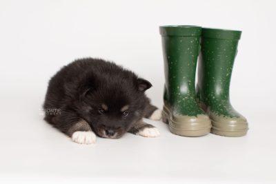 puppy217 week3 BowTiePomsky.com Bowtie Pomsky Puppy For Sale Husky Pomeranian Mini Dog Spokane WA Breeder Blue Eyes Pomskies Celebrity Puppy web4