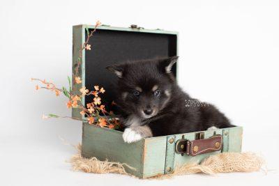 puppy217 week5 BowTiePomsky.com Bowtie Pomsky Puppy For Sale Husky Pomeranian Mini Dog Spokane WA Breeder Blue Eyes Pomskies Celebrity Puppy web2