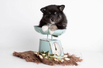 puppy217 week5 BowTiePomsky.com Bowtie Pomsky Puppy For Sale Husky Pomeranian Mini Dog Spokane WA Breeder Blue Eyes Pomskies Celebrity Puppy web3