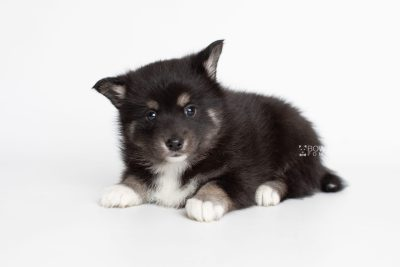 puppy217 week5 BowTiePomsky.com Bowtie Pomsky Puppy For Sale Husky Pomeranian Mini Dog Spokane WA Breeder Blue Eyes Pomskies Celebrity Puppy web7