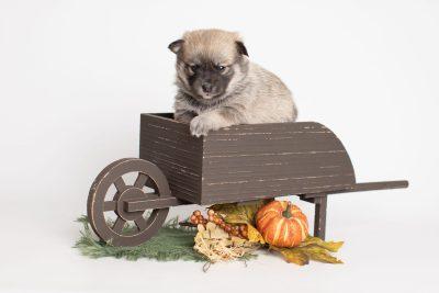 puppy218 week3 BowTiePomsky.com Bowtie Pomsky Puppy For Sale Husky Pomeranian Mini Dog Spokane WA Breeder Blue Eyes Pomskies Celebrity Puppy web2