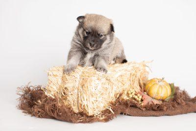 puppy218 week3 BowTiePomsky.com Bowtie Pomsky Puppy For Sale Husky Pomeranian Mini Dog Spokane WA Breeder Blue Eyes Pomskies Celebrity Puppy web4