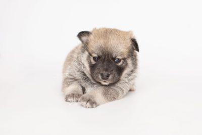 puppy218 week3 BowTiePomsky.com Bowtie Pomsky Puppy For Sale Husky Pomeranian Mini Dog Spokane WA Breeder Blue Eyes Pomskies Celebrity Puppy web7
