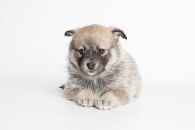 puppy218 week5 BowTiePomsky.com Bowtie Pomsky Puppy For Sale Husky Pomeranian Mini Dog Spokane WA Breeder Blue Eyes Pomskies Celebrity Puppy web7