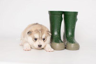 puppy219 week3 BowTiePomsky.com Bowtie Pomsky Puppy For Sale Husky Pomeranian Mini Dog Spokane WA Breeder Blue Eyes Pomskies Celebrity Puppy web4