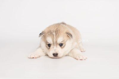 puppy219 week3 BowTiePomsky.com Bowtie Pomsky Puppy For Sale Husky Pomeranian Mini Dog Spokane WA Breeder Blue Eyes Pomskies Celebrity Puppy web6
