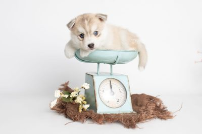 puppy219 week5 BowTiePomsky.com Bowtie Pomsky Puppy For Sale Husky Pomeranian Mini Dog Spokane WA Breeder Blue Eyes Pomskies Celebrity Puppy web2