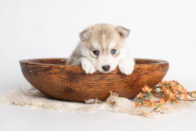 puppy219 week5 BowTiePomsky.com Bowtie Pomsky Puppy For Sale Husky Pomeranian Mini Dog Spokane WA Breeder Blue Eyes Pomskies Celebrity Puppy web3