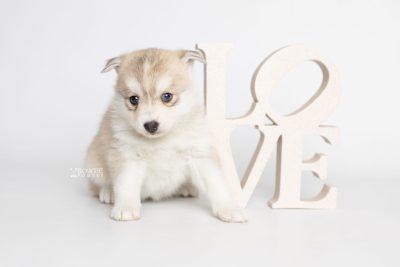 puppy219 week5 BowTiePomsky.com Bowtie Pomsky Puppy For Sale Husky Pomeranian Mini Dog Spokane WA Breeder Blue Eyes Pomskies Celebrity Puppy web4