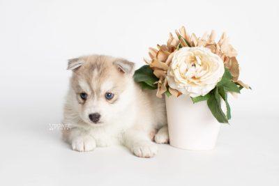 puppy219 week5 BowTiePomsky.com Bowtie Pomsky Puppy For Sale Husky Pomeranian Mini Dog Spokane WA Breeder Blue Eyes Pomskies Celebrity Puppy web5