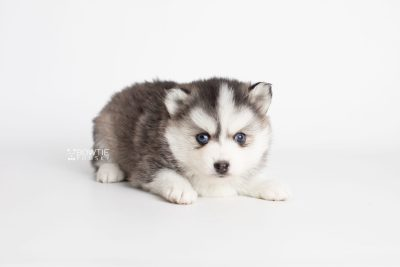 puppy220 week5 BowTiePomsky.com Bowtie Pomsky Puppy For Sale Husky Pomeranian Mini Dog Spokane WA Breeder Blue Eyes Pomskies Celebrity Puppy web5