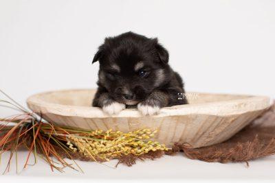 puppy222 week3 BowTiePomsky.com Bowtie Pomsky Puppy For Sale Husky Pomeranian Mini Dog Spokane WA Breeder Blue Eyes Pomskies Celebrity Puppy web2