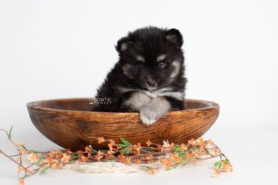 puppy222 week5 BowTiePomsky.com Bowtie Pomsky Puppy For Sale Husky Pomeranian Mini Dog Spokane WA Breeder Blue Eyes Pomskies Celebrity Puppy web3