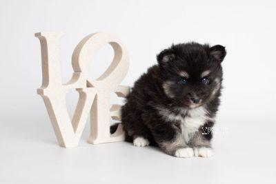 puppy222 week5 BowTiePomsky.com Bowtie Pomsky Puppy For Sale Husky Pomeranian Mini Dog Spokane WA Breeder Blue Eyes Pomskies Celebrity Puppy web6