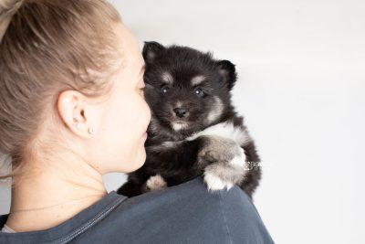 puppy222 week5 BowTiePomsky.com Bowtie Pomsky Puppy For Sale Husky Pomeranian Mini Dog Spokane WA Breeder Blue Eyes Pomskies Celebrity Puppy web7