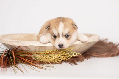 puppy224 week3 BowTiePomsky.com Bowtie Pomsky Puppy For Sale Husky Pomeranian Mini Dog Spokane WA Breeder Blue Eyes Pomskies Celebrity Puppy web2