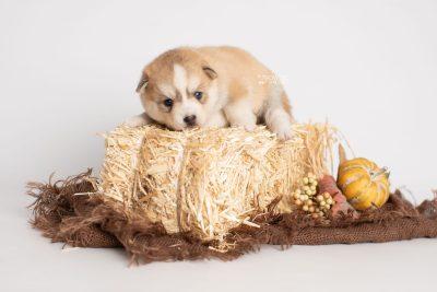 puppy224 week3 BowTiePomsky.com Bowtie Pomsky Puppy For Sale Husky Pomeranian Mini Dog Spokane WA Breeder Blue Eyes Pomskies Celebrity Puppy web3