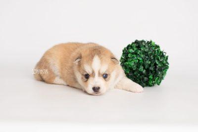 puppy224 week3 BowTiePomsky.com Bowtie Pomsky Puppy For Sale Husky Pomeranian Mini Dog Spokane WA Breeder Blue Eyes Pomskies Celebrity Puppy web4