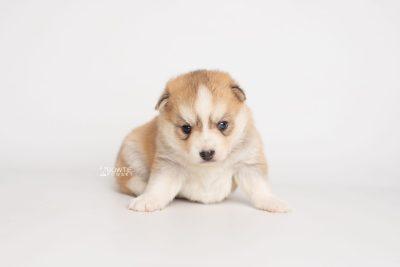 puppy224 week3 BowTiePomsky.com Bowtie Pomsky Puppy For Sale Husky Pomeranian Mini Dog Spokane WA Breeder Blue Eyes Pomskies Celebrity Puppy web6