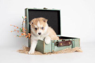 puppy224 week5 BowTiePomsky.com Bowtie Pomsky Puppy For Sale Husky Pomeranian Mini Dog Spokane WA Breeder Blue Eyes Pomskies Celebrity Puppy web1