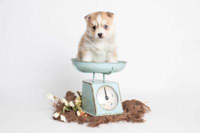 puppy224 week5 BowTiePomsky.com Bowtie Pomsky Puppy For Sale Husky Pomeranian Mini Dog Spokane WA Breeder Blue Eyes Pomskies Celebrity Puppy web2