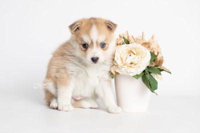 puppy224 week5 BowTiePomsky.com Bowtie Pomsky Puppy For Sale Husky Pomeranian Mini Dog Spokane WA Breeder Blue Eyes Pomskies Celebrity Puppy web4