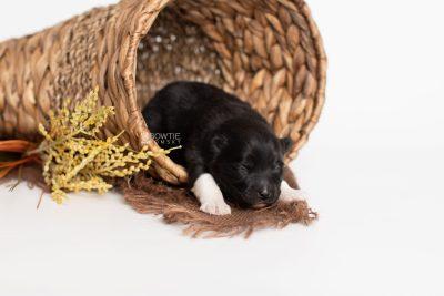 puppy225 week1 BowTiePomsky.com Bowtie Pomsky Puppy For Sale Husky Pomeranian Mini Dog Spokane WA Breeder Blue Eyes Pomskies Celebrity Puppy web1