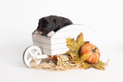 puppy225 week1 BowTiePomsky.com Bowtie Pomsky Puppy For Sale Husky Pomeranian Mini Dog Spokane WA Breeder Blue Eyes Pomskies Celebrity Puppy web3