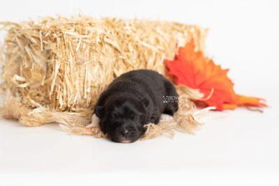 puppy225 week1 BowTiePomsky.com Bowtie Pomsky Puppy For Sale Husky Pomeranian Mini Dog Spokane WA Breeder Blue Eyes Pomskies Celebrity Puppy web7