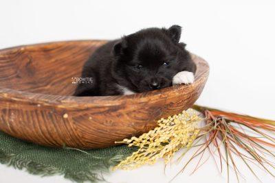 puppy225 week3 BowTiePomsky.com Bowtie Pomsky Puppy For Sale Husky Pomeranian Mini Dog Spokane WA Breeder Blue Eyes Pomskies Celebrity Puppy web4