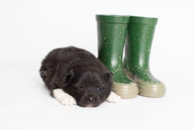 puppy225 week3 BowTiePomsky.com Bowtie Pomsky Puppy For Sale Husky Pomeranian Mini Dog Spokane WA Breeder Blue Eyes Pomskies Celebrity Puppy web5