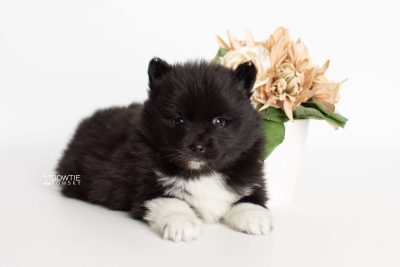 puppy225 week5 BowTiePomsky.com Bowtie Pomsky Puppy For Sale Husky Pomeranian Mini Dog Spokane WA Breeder Blue Eyes Pomskies Celebrity Puppy web5