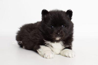 puppy225 week5 BowTiePomsky.com Bowtie Pomsky Puppy For Sale Husky Pomeranian Mini Dog Spokane WA Breeder Blue Eyes Pomskies Celebrity Puppy web6