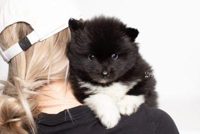 puppy225 week5 BowTiePomsky.com Bowtie Pomsky Puppy For Sale Husky Pomeranian Mini Dog Spokane WA Breeder Blue Eyes Pomskies Celebrity Puppy web7