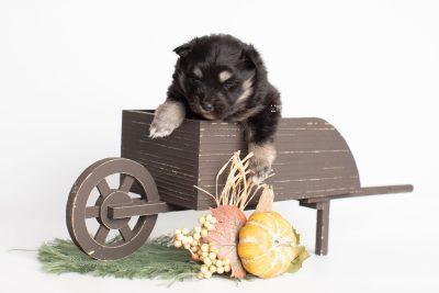 puppy226 week3 BowTiePomsky.com Bowtie Pomsky Puppy For Sale Husky Pomeranian Mini Dog Spokane WA Breeder Blue Eyes Pomskies Celebrity Puppy web1