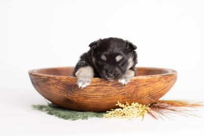 puppy226 week3 BowTiePomsky.com Bowtie Pomsky Puppy For Sale Husky Pomeranian Mini Dog Spokane WA Breeder Blue Eyes Pomskies Celebrity Puppy web3