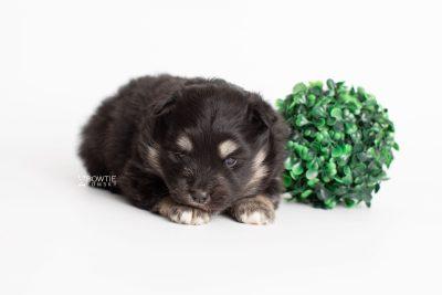 puppy226 week3 BowTiePomsky.com Bowtie Pomsky Puppy For Sale Husky Pomeranian Mini Dog Spokane WA Breeder Blue Eyes Pomskies Celebrity Puppy web4