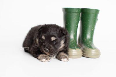puppy226 week3 BowTiePomsky.com Bowtie Pomsky Puppy For Sale Husky Pomeranian Mini Dog Spokane WA Breeder Blue Eyes Pomskies Celebrity Puppy web5