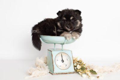 puppy226 week5 BowTiePomsky.com Bowtie Pomsky Puppy For Sale Husky Pomeranian Mini Dog Spokane WA Breeder Blue Eyes Pomskies Celebrity Puppy web1